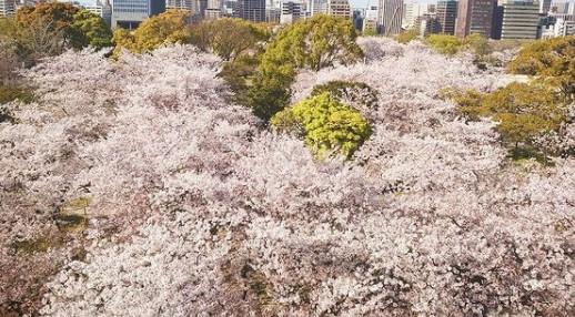 福岡の2021年桜開花予想